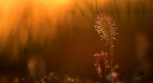Pikalehine huulhein (Drosera anglica)