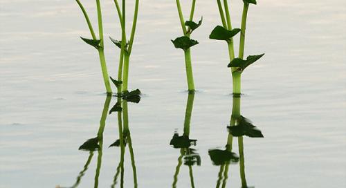 Harilik varsakabi (Caltha palustris)