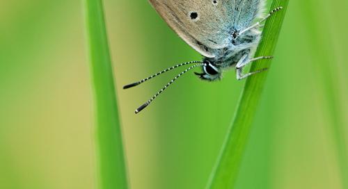 Ristikheina taevastiib (Polyommatus icarus)