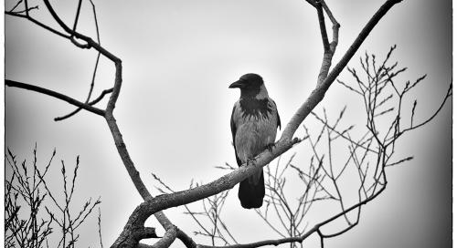 Hallvares (Corvus cornix)