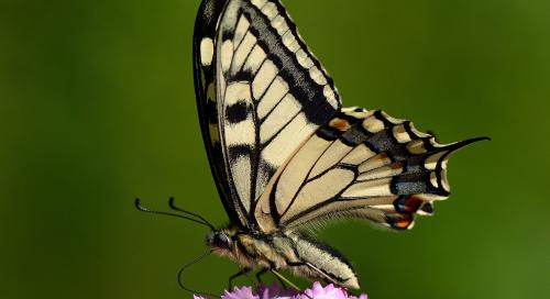 Pääsusaba (Papilio machaon)