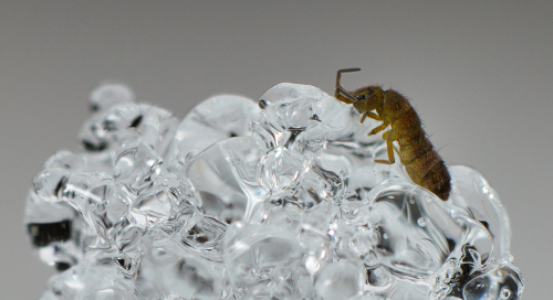 Lumekirp (Entomobrya nivalis)
