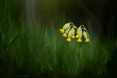 Harilik nurmenukk (Primula veris)