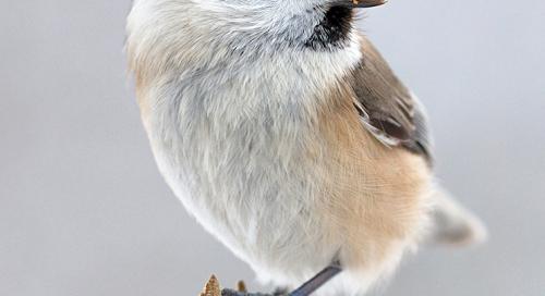Salutihane ehk sootihane (Parus palustris)