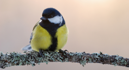Rasvatihane (Parus major)