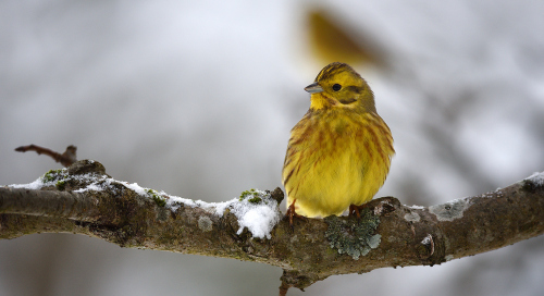 Talvike (Emberzia Citrinella)