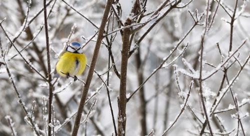 Sinitihane (Parus caeruleus)